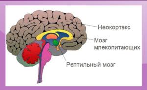схема рептильный мозг, лимбический мозг, неокортекс